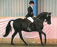 Anglo Arab Horses - Sunray Anglo Arabian Stud